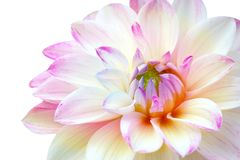 Ciérrese para arriba de la flor rosada blanca de la dalia en el fondo blanco Fotos de archivo libres de regalías
