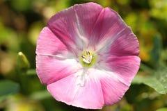 Ciérrese para arriba de la flor rosada de la correhuela Foto de archivo