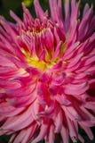 Ciérrese para arriba de la flor rosada de la dalia Fotografía de archivo