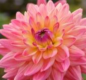 Ciérrese para arriba de la flor rosada de la dalia Imagenes de archivo
