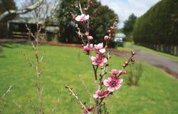 Ciérrese para arriba de la flor rosada de Manuka Imagen de archivo