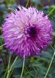 Ciérrese para arriba de la flor violeta de la dalia Foto de archivo