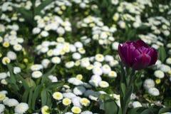 Ciérrese para arriba de la flor violeta del tulipán imágenes de archivo libres de regalías