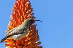 Ciérrese para arriba de la flor y del pájaro anaranjados del áloe en fondo azul fotografía de archivo