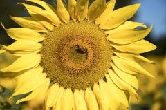 Ciérrese para arriba de la floración del girasol con descensos de la abeja y de rocío de la miel Fotos de archivo libres de regalías