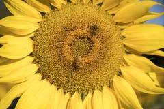 Ciérrese para arriba de la floración del girasol con descensos de las abejas y de rocío de la miel Fotografía de archivo libre de regalías