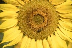 Ciérrese para arriba de la floración del girasol con la polinización de la abeja de la miel Fotos de archivo
