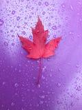 Ciérrese para arriba de la hoja de arce roja en diapositiva plástica púrpura con las gotas de agua imagen de archivo libre de regalías