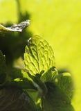 Ciérrese para arriba de la hoja condimentada y aromática picante de la menta Foto de archivo