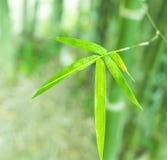Ciérrese para arriba de la hoja de bambú Imagen de archivo libre de regalías