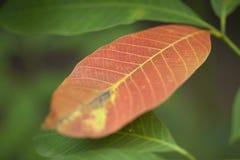 Ciérrese para arriba de la hoja del árbol de goma Fotos de archivo