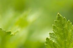 Ciérrese para arriba de la hoja del mentol en luz del sol en fondo del verde del zen Imagen de archivo libre de regalías