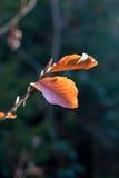 Ciérrese para arriba de la hoja del otoño Imagen de archivo libre de regalías