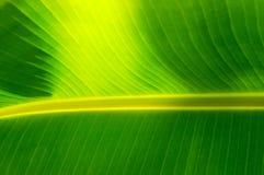 Ciérrese para arriba de la hoja del plátano que muestra líneas paralelas Fotos de archivo libres de regalías