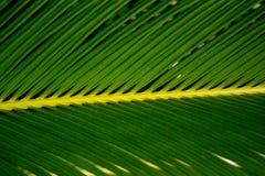 Ciérrese para arriba de la hoja en una planta de la palma de sagú imágenes de archivo libres de regalías