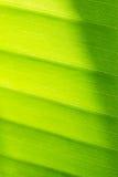 Ciérrese para arriba de la hoja fresca del plátano Fotos de archivo libres de regalías