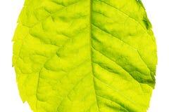 Ciérrese para arriba de la hoja fresca verde aislada en el fondo blanco Imagen de archivo libre de regalías
