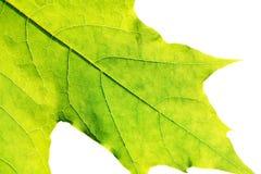 Ciérrese para arriba de la hoja fresca verde aislada en el fondo blanco Imágenes de archivo libres de regalías