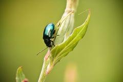 Ciérrese para arriba de la hoja que sube del pequeño insecto verde en fondo borroso Foto de archivo