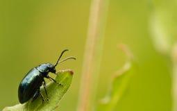 Ciérrese para arriba de la hoja que sube del pequeño insecto verde en fondo borroso Fotografía de archivo