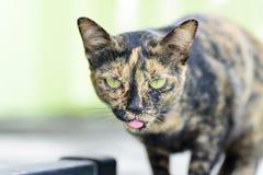 Ciérrese para arriba de la lengua del palillo del gato hacia fuera imagen de archivo libre de regalías