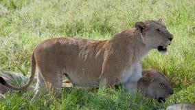 Ciérrese para arriba de la leona africana salvaje que busca la presa en el llano en la fauna almacen de metraje de vídeo