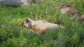 Ciérrese para arriba de la leona africana salvaje que duerme en hierba en Savannah And Waking Up metrajes