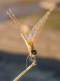 Ciérrese para arriba de la libélula Imágenes de archivo libres de regalías