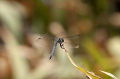 Ciérrese para arriba de la libélula azul masculina de la desnatadora de Dasher en una hoja Imagen de archivo libre de regalías
