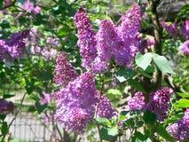 Ciérrese para arriba de la lila Bush Imagenes de archivo