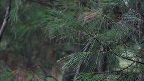 Ciérrese para arriba de la lluvia que cae en una rama de árbol de pino con agua que corre abajo de formar gotitas en las extremid almacen de metraje de vídeo