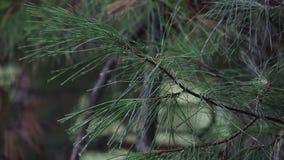 Ciérrese para arriba de la lluvia que cae en una rama de árbol de pino con agua que corre abajo de formar gotitas en las extremid almacen de video