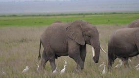 Ciérrese para arriba de la manada de elefantes y del bebé salvajes en un pasto en la sabana africana metrajes