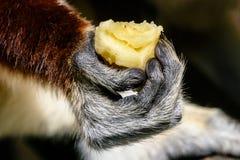 Ciérrese para arriba de la mano del lémur que sostiene el plátano en Madagascar Foto de archivo