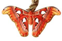 Ciérrese para arriba de la mariposa del atlas del attacus Imagenes de archivo