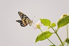 Ciérrese para arriba de la mariposa del centro británico de la fauna, Reino Unido Fotografía de archivo