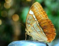 Ciérrese para arriba de la mariposa hermosa, Camberdian junglequeen encaramarse Imagen de archivo libre de regalías