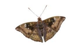 Ciérrese para arriba de la mariposa masculina del barón del mango Fotografía de archivo