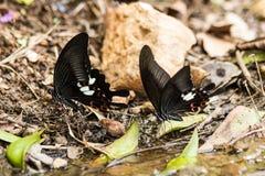 Ciérrese para arriba de la mariposa que recolecta el agua en el piso Imagenes de archivo