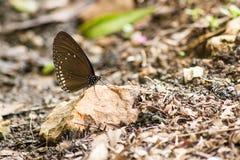 Ciérrese para arriba de la mariposa que recolecta el agua en el piso Imagen de archivo