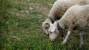 Ciérrese para arriba de la masticación principal de los corderos, oveja en el prado, campo, cultivando Fotografía de archivo