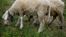 Ciérrese para arriba de la masticación principal de los corderos, oveja en el prado, campo, cultivando Imagen de archivo libre de regalías