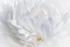 Ciérrese para arriba de la peonía blanca Fotos de archivo