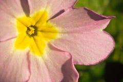 Ciérrese para arriba de la pequeña flor rosada linda en tiempo de primavera Imágenes de archivo libres de regalías