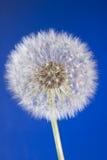 Ciérrese para arriba de la pista del diente de león con los gérmenes en el cielo azul Fotografía de archivo