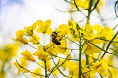 Ciérrese para arriba de la planta amarilla del canola Foto de archivo