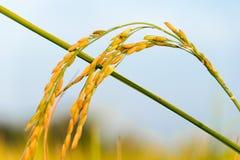 Ciérrese para arriba de la planta de arroz amarilla de arroz en campo Fotografía de archivo libre de regalías