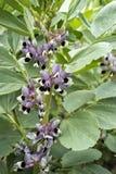 Ciérrese para arriba de la planta de la haba (Faba de la Vicia) en flor Imágenes de archivo libres de regalías
