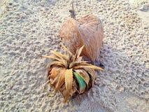Ciérrese para arriba de la planta de mar, pino de tornillo en la playa Imagenes de archivo