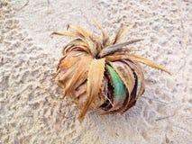 Ciérrese para arriba de la planta de mar, pino de tornillo en la playa Fotos de archivo libres de regalías